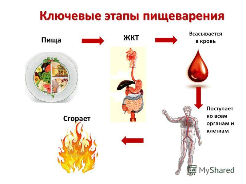 Ключевые этапы пищеварения Пища ЖКТ Всасывается в кровь Поступает ко всем органам и клеткам Сгорает