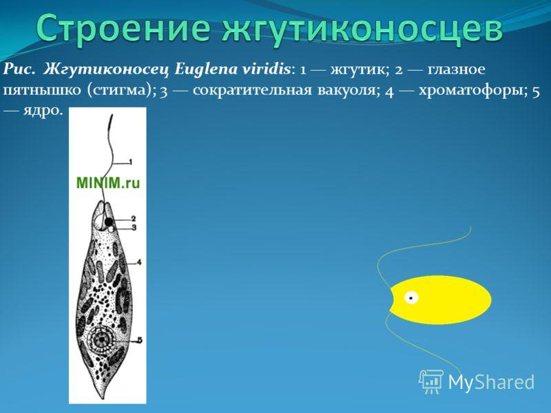 Формы жгутиконосцов: яйцевидная, цилиндрическая, веретиновидная и шаровидная. Привет, я Жгутиконосец