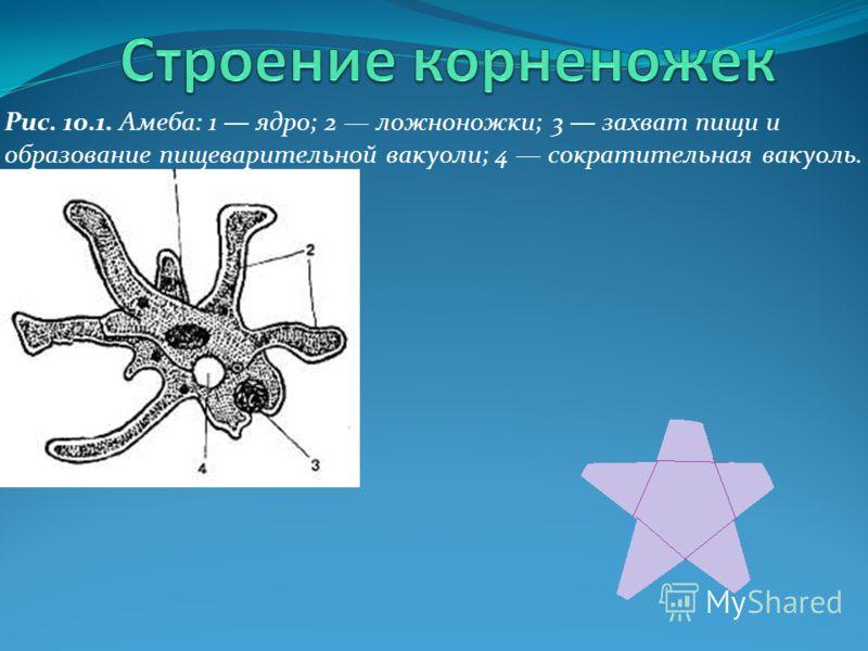 Тело корненожки состоит из протоплазмы, которая образует временные выросты различной формы (ложные ножки). Многие корненожки имеют раковину и скелет. Корненожки – это амебы, солнечники, фораминиферы, радиолярии и другие виды. Привет, я корненожка Я и
