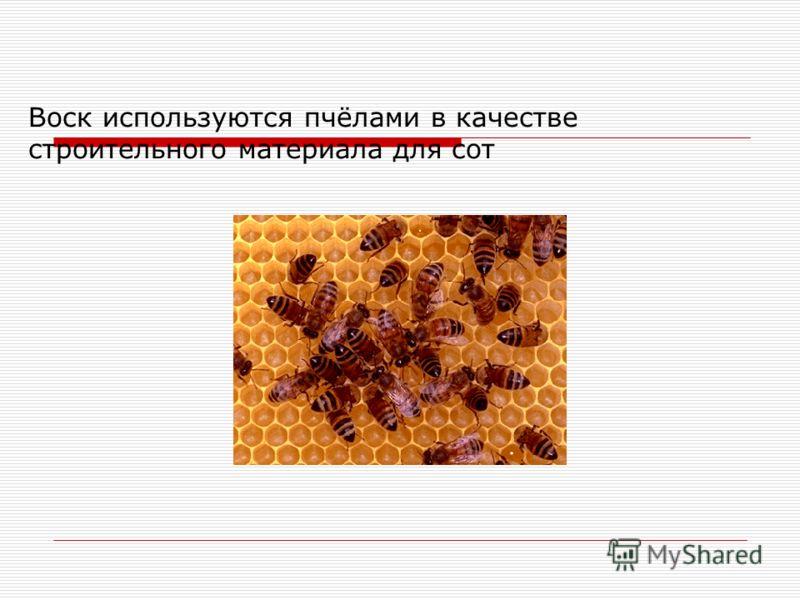 Воск используются пчёлами в качестве строительного материала для сот
