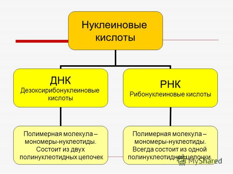 Нуклеиновые кислоты ДНК Дезоксирибонуклеиновые кислоты Полимерная молекула – мономеры-нуклеотиды. Состоит из двух полинуклеотидных цепочек РНК Рибонуклеиновые кислоты Полимерная молекула – мономеры-нуклеотиды. Всегда состоит из одной полинуклеотидной
