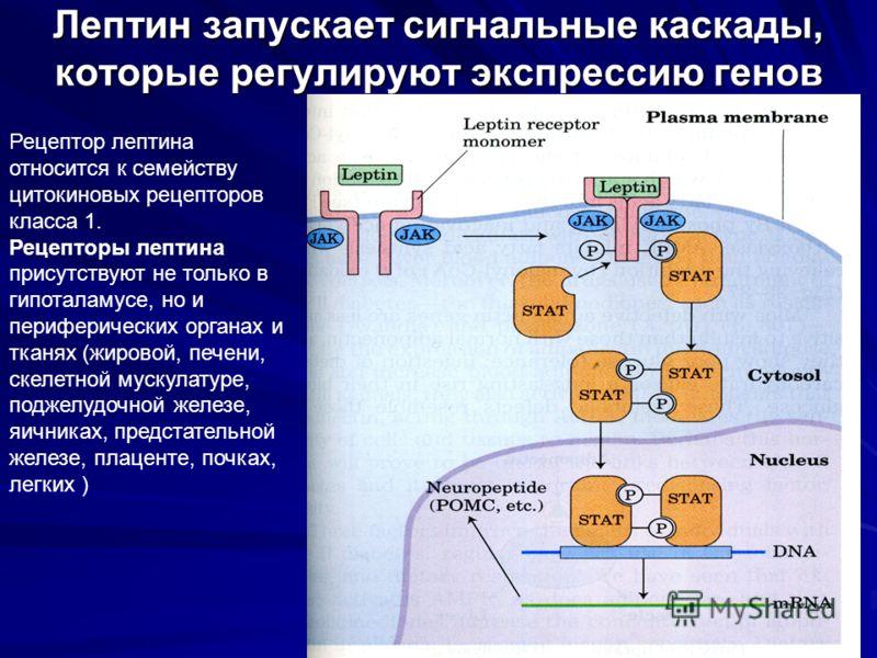 Лептин запускает сигнальные каскады, которые регулируют экспрессию генов Рецептор лептина относится к семейству цитокиновых рецепторов класса 1. Рецепторы лептина присутствуют не только в гипоталамусе, но и периферических органах и тканях (жировой, п