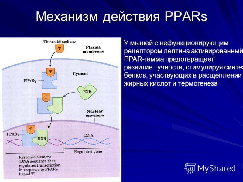 Механизм действия PPARs У мышей с нефункционирующим рецептором лептина активированный PPAR-гамма предотвращает развитие тучности, стимулируя синтез белков, участвующих в расщеплении жирных кислот и термогенеза