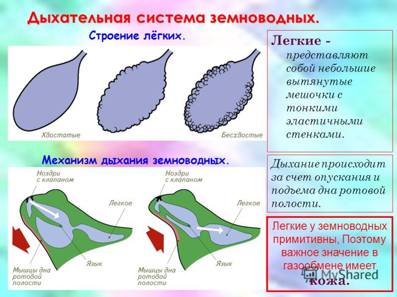 Механизм дыхания земноводных.