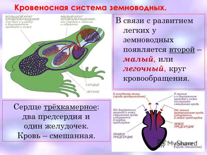 Кровеносная система земноводных. В связи с развитием легких у земноводных появляется второй – малый, или легочный, круг кровообращения. Сердце трёхкамерное: два предсердия и один желудочек. Кровь – смешанная.