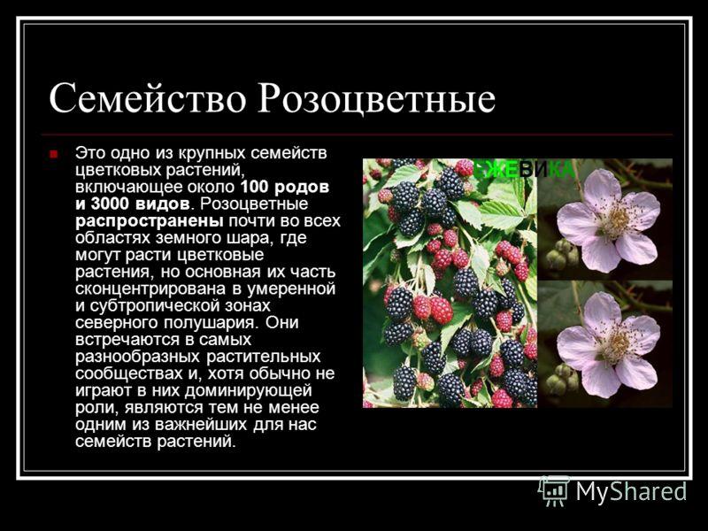 Семейство Розоцветные Это одно из крупных семейств цветковых растений, включающее около 100 родов и 3000 видов. Розоцветные распространены почти во всех областях земного шара, где могут расти цветковые растения, но основная их часть сконцентрирована