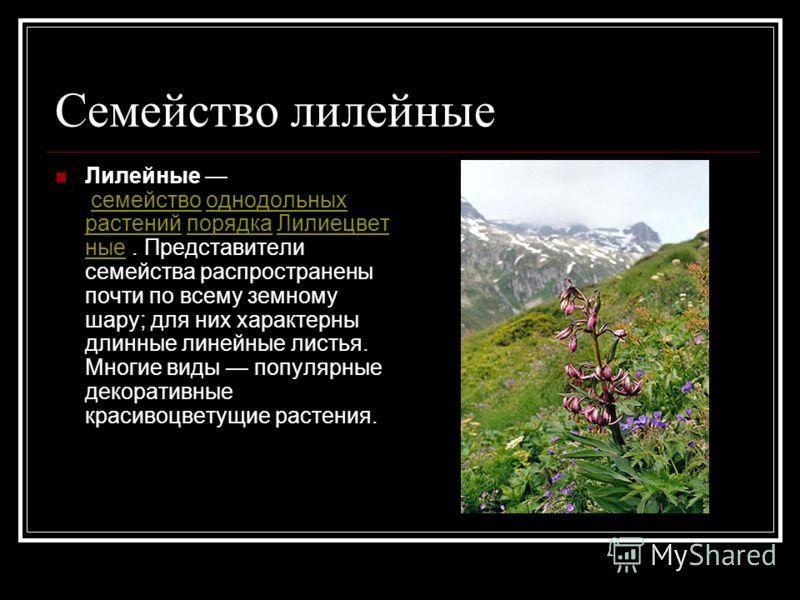 Семейство лилейные Лилейные семейство однодольных растений порядка Лилиецвет ные. Представители семейства распространены почти по всему земному шару; для них характерны длинные линейные листья. Многие виды популярные декоративные красивоцветущие раст