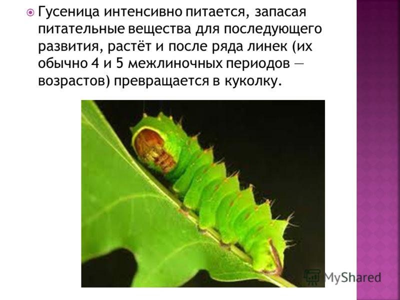 Гусеница интенсивно питается, запасая питательные вещества для последующего развития, растёт и после ряда линек (их обычно 4 и 5 межлиночных периодов возрастов) превращается в куколку.