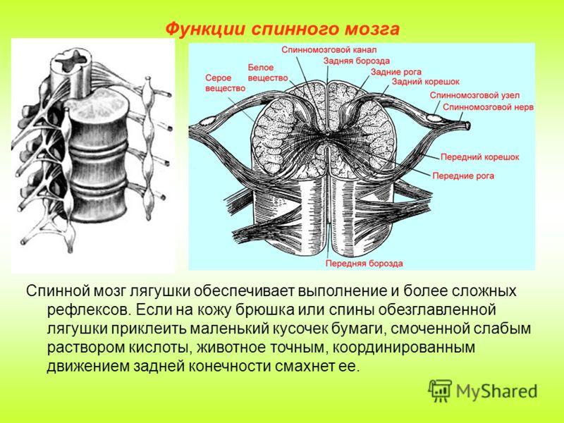 Функции спинного мозга Спинной мозг лягушки обеспечивает выполнение и более сложных рефлексов. Если на кожу брюшка или спины обезглавленной лягушки приклеить маленький кусочек бумаги, смоченной слабым раствором кислоты, животное точным, координирован