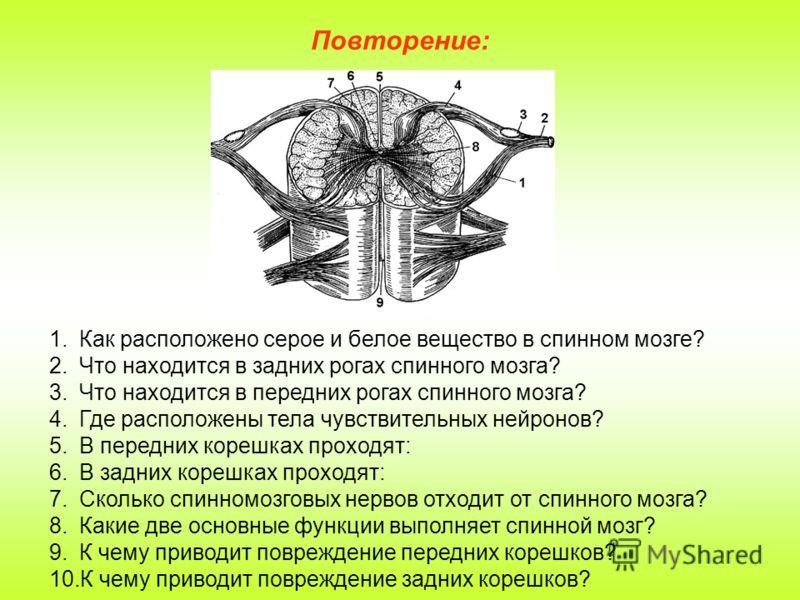 Повторение: 1.Как расположено серое и белое вещество в спинном мозге? 2.Что находится в задних рогах спинного мозга? 3.Что находится в передних рогах спинного мозга? 4.Где расположены тела чувствительных нейронов? 5.В передних корешках проходят: 6.В