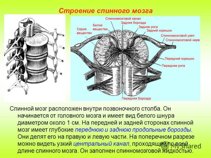Строение спинного мозга Спинной мозг расположен внутри позвоночного столба. Он начинается от головного мозга и имеет вид белого шнура диаметром около 1 см. На передней и задней сторонах спинной мозг имеет глубокие переднюю и заднюю продольные борозды