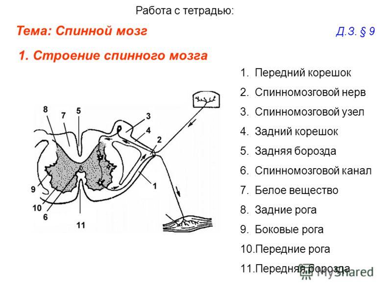 Тема: Спинной мозг Д.З. § 9 Работа с тетрадью: 1.Строение спинного мозга 1.Передний корешок 2.Спинномозговой нерв 3.Спинномозговой узел 4.Задний корешок 5.Задняя борозда 6.Спинномозговой канал 7.Белое вещество 8.Задние рога 9.Боковые рога 10.Передние