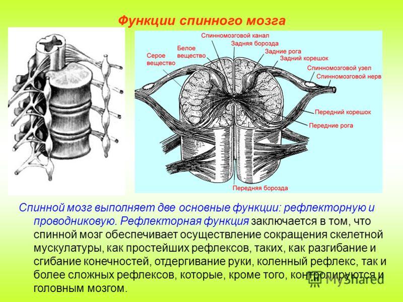 Функции спинного мозга Спинной мозг выполняет две основные функции: рефлекторную и проводниковую. Рефлекторная функция заключается в том, что спинной мозг обеспечивает осуществление сокращения скелетной мускулатуры, как простейших рефлексов, таких, к