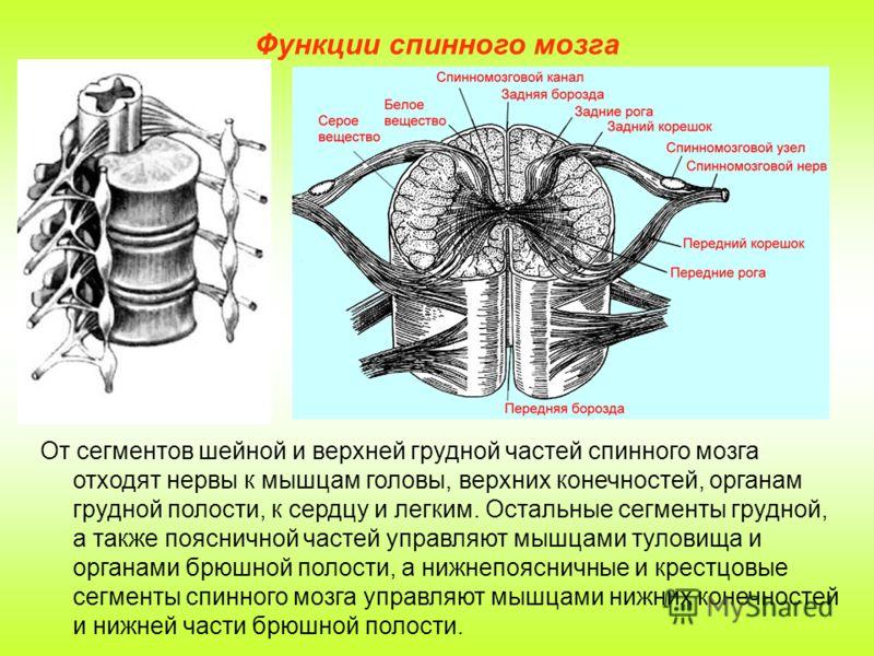 Функции спинного мозга От сегментов шейной и верхней грудной частей спинного мозга отходят нервы к мышцам головы, верхних конечностей, органам грудной полости, к сердцу и легким. Остальные сегменты грудной, а также поясничной частей управляют мышцами