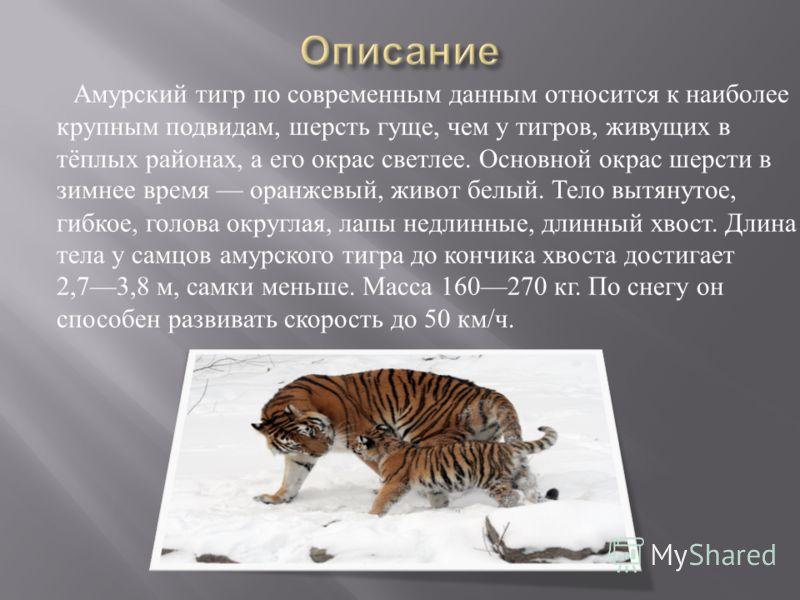 Амурский тигр по современным данным относится к наиболее крупным подвидам, шерсть гуще, чем у тигров, живущих в тёплых районах, а его окрас светлее. Основной окрас шерсти в зимнее время оранжевый, живот белый. Тело вытянутое, гибкое, голова округлая,