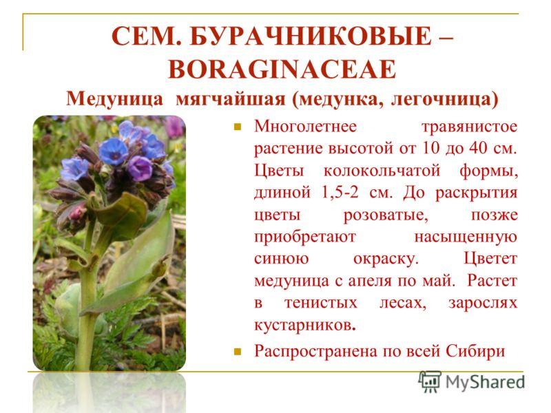 СЕМ. БУРАЧНИКОВЫЕ – BORAGINACEAE Медуница мягчайшая (медунка, легочница) Многолетнее травянистое растение высотой от 10 до 40 см. Цветы колокольчатой формы, длиной 1,5-2 см. До раскрытия цветы розоватые, позже приобретают насыщенную синюю окраску. Цв