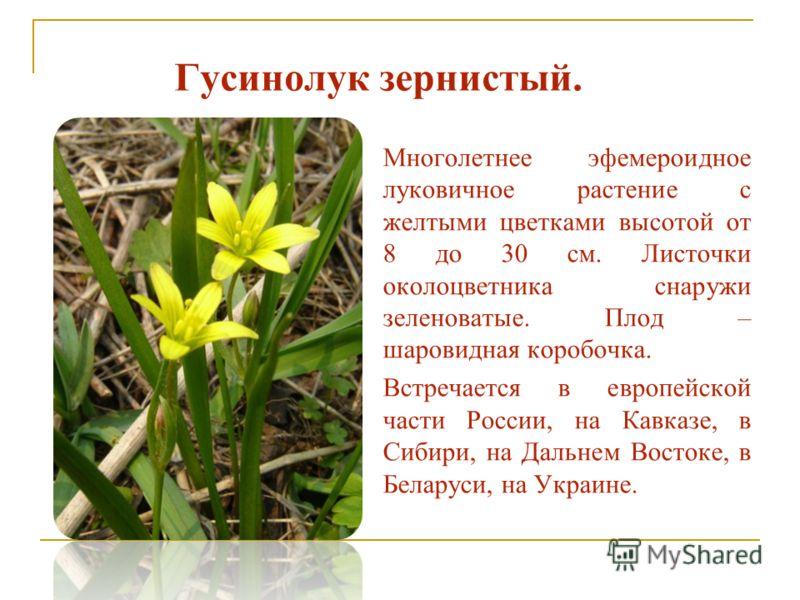 Гусинолук зернистый. Многолетнее эфемероидное луковичное растение с желтыми цветками высотой от 8 до 30 см. Листочки околоцветника снаружи зеленоватые. Плод – шаровидная коробочка. Встречается в европейской части России, на Кавказе, в Сибири, на Даль