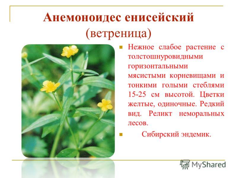 Анемоноидес енисейский (ветреница) Нежное слабое растение с толстошнуровидными горизонтальными мясистыми корневищами и тонкими голыми стеблями 15-25 см высотой. Цветки желтые, одиночные. Редкий вид. Реликт неморальных лесов. Сибирский эндемик.