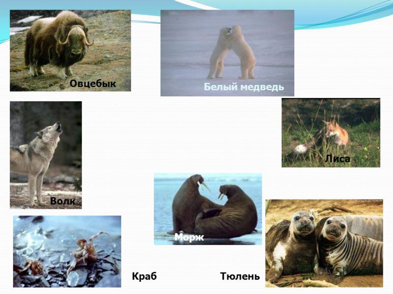 Овцебык Белый медведь Волк Лиса Морж ТюленьКраб