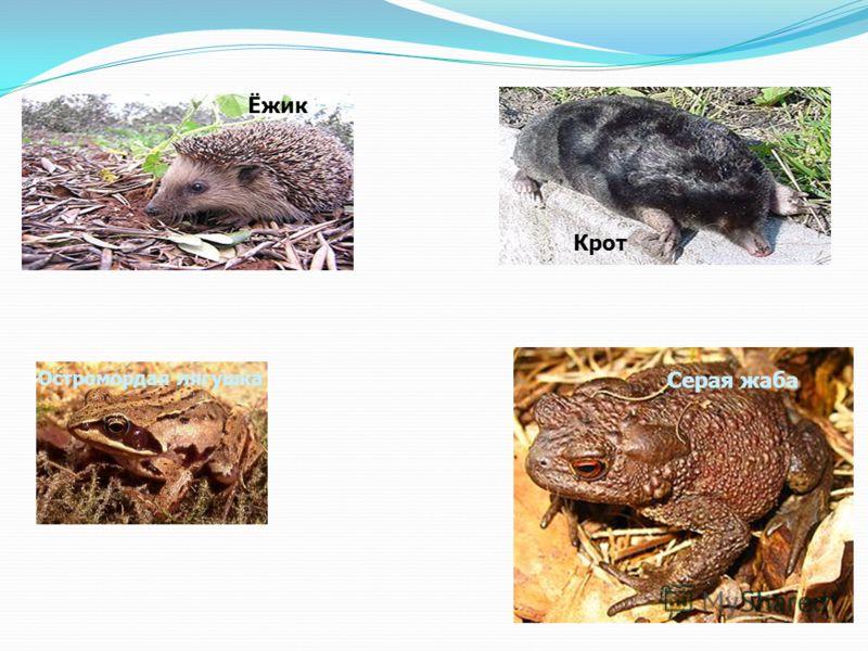 Серая жаба Остромордая лягушка Крот Ёжик