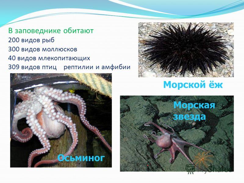 В заповеднике обитают 200 видов рыб 300 видов моллюсков 40 видов млекопитающих 309 видов птиц рептилии и амфибии Осьминог Морская звезда Морской ёж