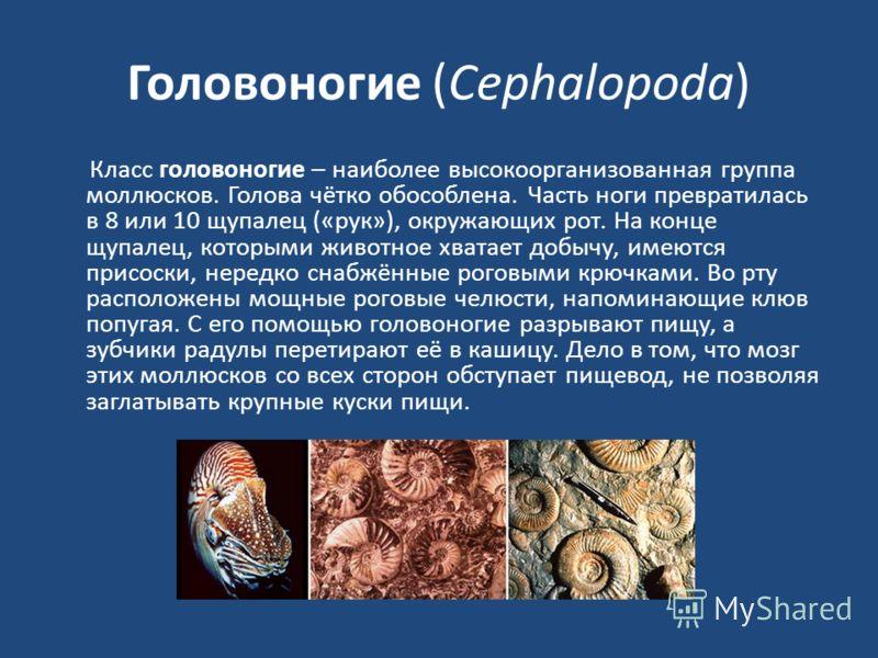 Головоногие (Cephalopoda) Класс головоногие – наиболее высокоорганизованная группа моллюсков. Голова чётко обособлена. Часть ноги превратилась в 8 или 10 щупалец («рук»), окружающих рот. На конце щупалец, которыми животное хватает добычу, имеются при