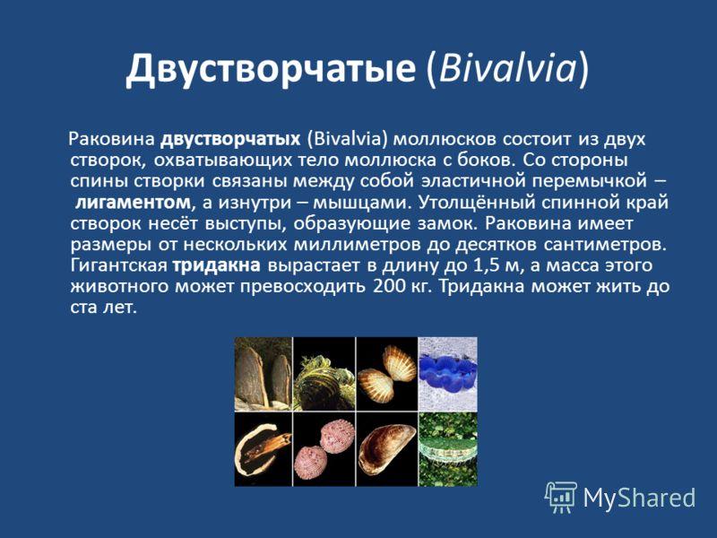 Двустворчатые (Bivalvia) Раковина двустворчатых (Bivalvia) моллюсков состоит из двух створок, охватывающих тело моллюска с боков. Со стороны спины створки связаны между собой эластичной перемычкой – лигаментом, а изнутри – мышцами. Утолщённый спинной