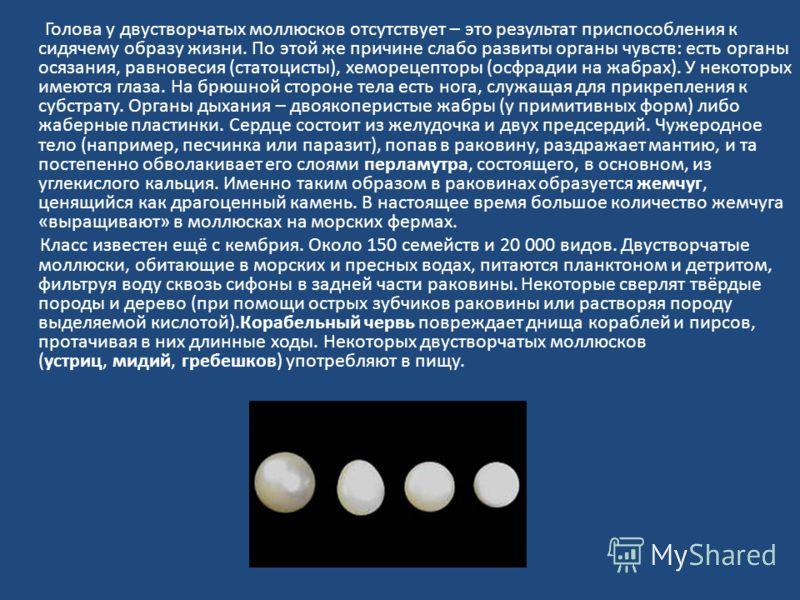 Голова у двустворчатых моллюсков отсутствует – это результат приспособления к сидячему образу жизни. По этой же причине слабо развиты органы чувств: есть органы осязания, равновесия (статоцисты), хеморецепторы (осфрадии на жабрах). У некоторых имеютс