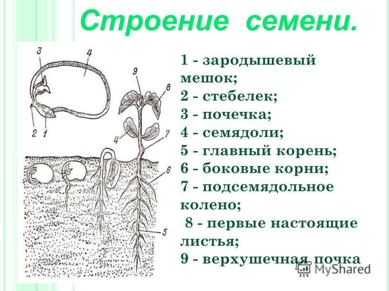 Строение семени. 1 - зародышевый мешок; 2 - стебелек; 3 - почечка; 4 - семядоли; 5 - главный корень; 6 - боковые корни; 7 - подсемядольное колено; 8 - первые настоящие листья; 9 - верхушечная почка