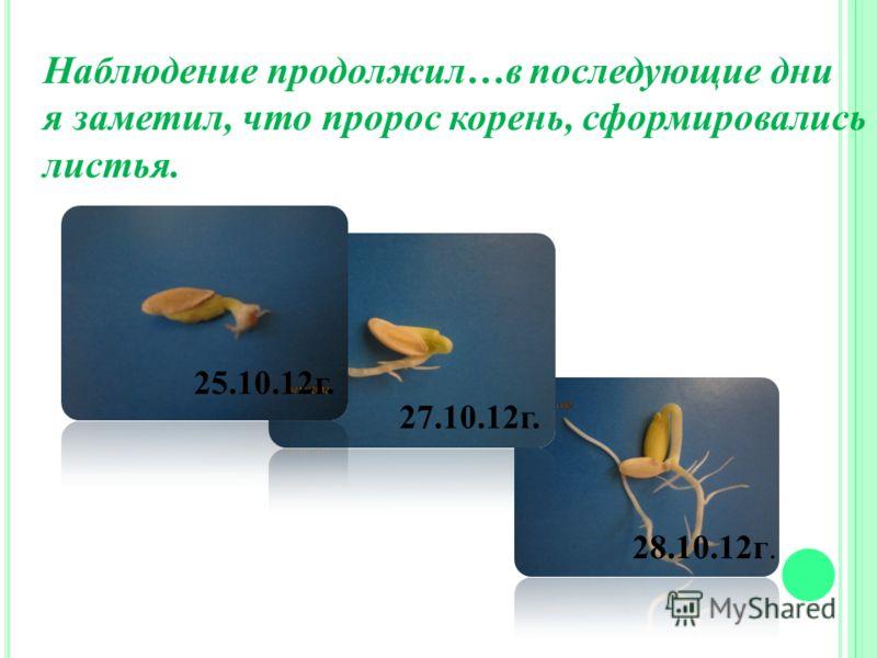 28.10.12г. 27.10.12г. 25.10.12г. Наблюдение продолжил…в последующие дни я заметил, что пророс корень, сформировались листья.
