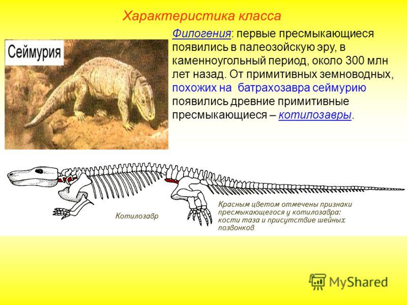 Характеристика класса Филогения: первые пресмыкающиеся появились в палеозойскую эру, в каменноугольный период, около 300 млн лет назад. От примитивных земноводных, похожих на батрахозавра сеймурию появились древние примитивные пресмыкающиеся – котило
