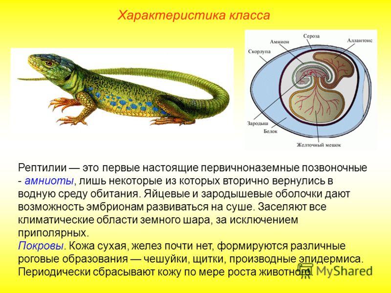 Характеристика класса Рептилии это первые настоящие первичноназемные позвоночные - амниоты, лишь некоторые из которых вторично вернулись в водную среду обитания. Яйцевые и зародышевые оболочки дают возможность эмбрионам развиваться на суше. Заселяют