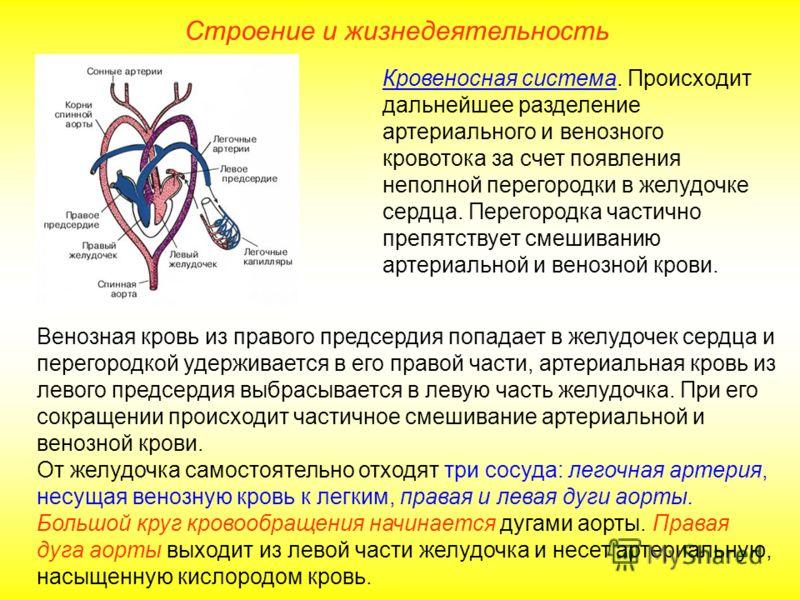 Кровеносная система. Происходит дальнейшее разделение артериального и венозного кровотока за счет появления неполной перегородки в желудочке сердца. Перегородка частично препятствует смешиванию артериальной и венозной крови. Венозная кровь из правого