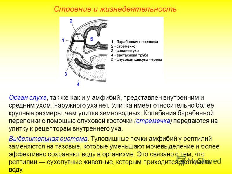 Строение и жизнедеятельность Орган слуха, так же как и у амфибий, представлен внутренним и средним ухом, наружного уха нет. Улитка имеет относительно более крупные размеры, чем улитка земноводных. Колебания барабанной перепонки с помощью слуховой кос