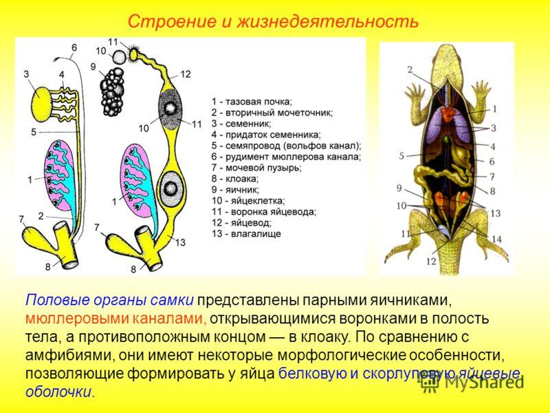 Строение и жизнедеятельность Половые органы самки представлены парными яичниками, мюллеровыми каналами, открывающимися воронками в полость тела, а противоположным концом в клоаку. По сравнению с амфибиями, они имеют некоторые морфологические особенно