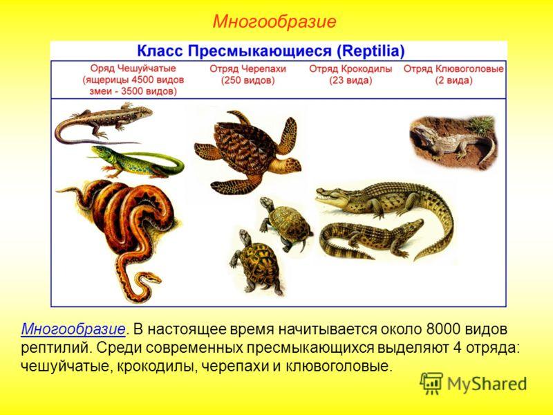 Многообразие Многообразие. В настоящее время начитывается около 8000 видов рептилий. Среди современных пресмыкающихся выделяют 4 отряда: чешуйчатые, крокодилы, черепахи и клювоголовые.