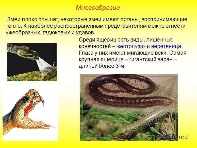 Многообразие Змеи плохо слышат, некоторые змеи имеют органы, воспринимающие тепло. К наиболее распространенным представителям можно отнести ужеобразных, гадюковых и удавов. Среди ящериц есть виды, лишенные конечностей – желтопузик и веретеница. Глаза