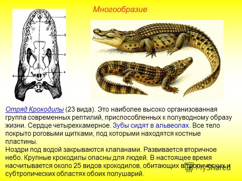 Многообразие Отряд Крокодилы (23 вида). Это наиболее высоко организованная группа современных рептилий, приспособленных к полуводному образу жизни. Сердце четырехкамерное. Зубы сидят в альвеолах. Все тело покрыто роговыми щитками, под которыми находя