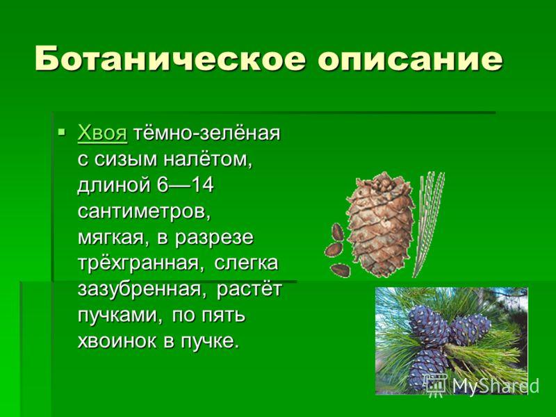 Ботаническое описание Хвоя тёмно-зелёная с сизым налётом, длиной 614 сантиметров, мягкая, в разрезе трёхгранная, слегка зазубренная, растёт пучками, по пять хвоинок в пучке. Хвоя тёмно-зелёная с сизым налётом, длиной 614 сантиметров, мягкая, в разрез