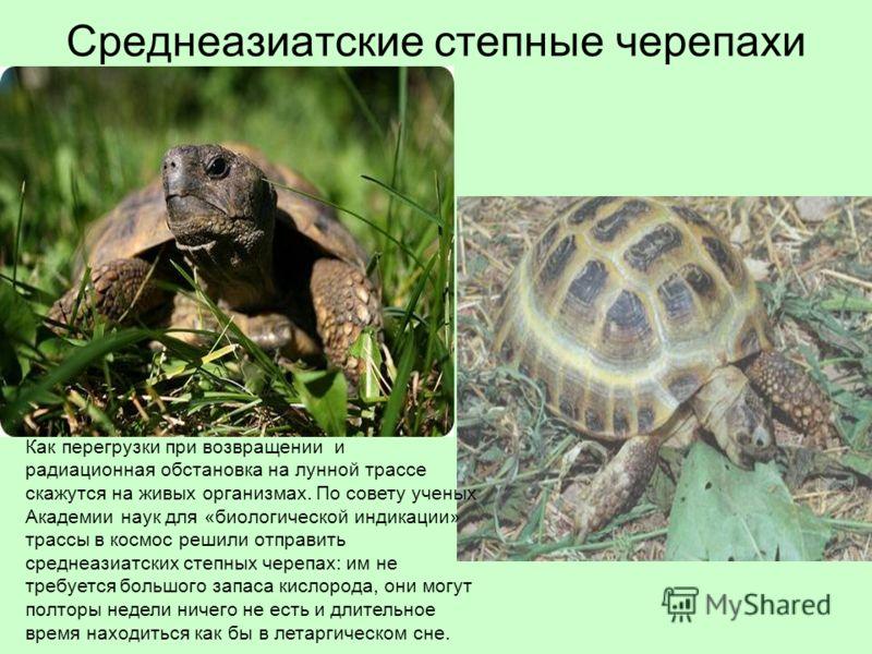 Среднеазиатские степные черепахи Как перегрузки при возвращении и радиационная обстановка на лунной трассе скажутся на живых организмах. По совету ученых Академии наук для «биологической индикации» трассы в космос решили отправить среднеазиатских сте
