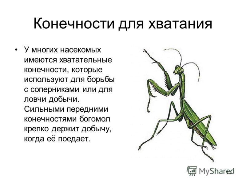 10 Конечности для хватания У многих насекомых имеются хватательные конечности, которые используют для борьбы с соперниками или для ловчи добычи. Сильными передними конечностями богомол крепко держит добычу, когда её поедает.