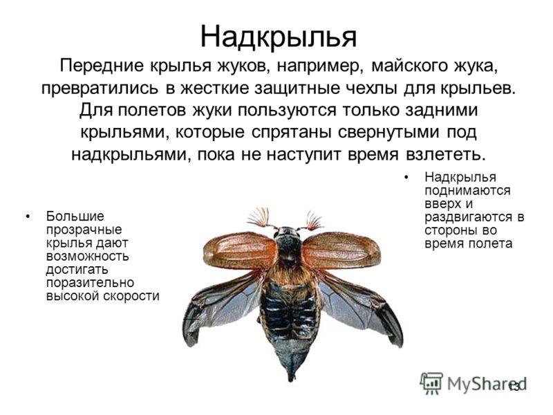 13 Надкрылья Передние крылья жуков, например, майского жука, превратились в жесткие защитные чехлы для крыльев. Для полетов жуки пользуются только задними крыльями, которые спрятаны свернутыми под надкрыльями, пока не наступит время взлететь. Большие