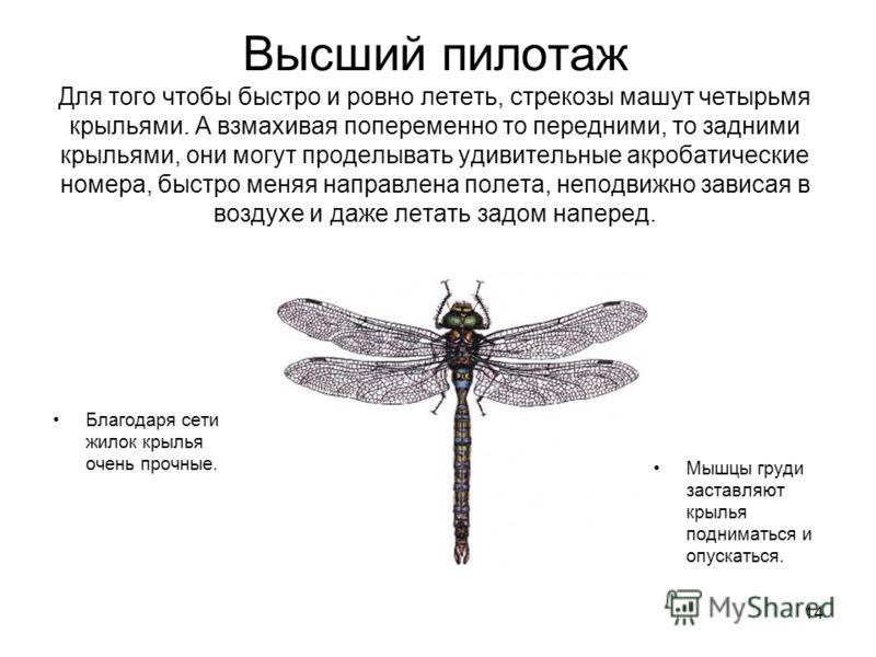 14 Высший пилотаж Для того чтобы быстро и ровно лететь, стрекозы машут четырьмя крыльями. А взмахивая попеременно то передними, то задними крыльями, они могут проделывать удивительные акробатические номера, быстро меняя направлена полета, неподвижно