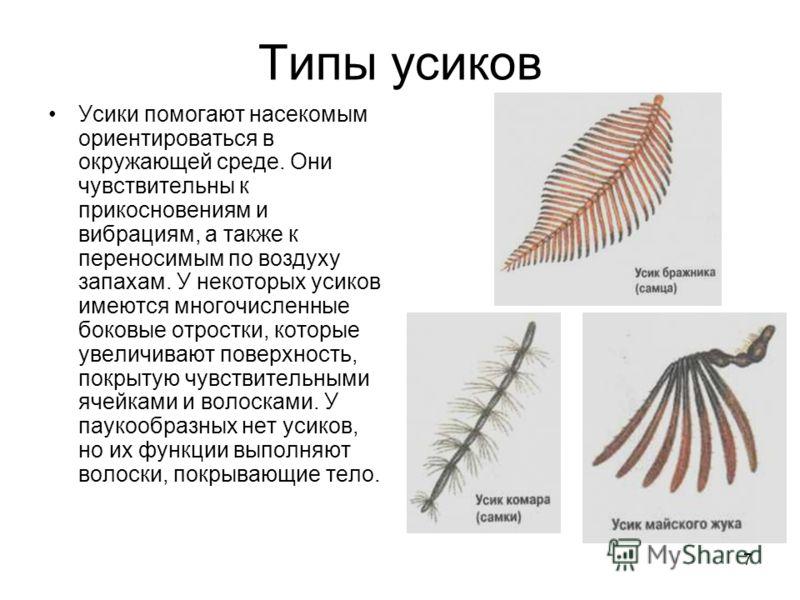 7 Типы усиков Усики помогают насекомым ориентироваться в окружающей среде. Они чувствительны к прикосновениям и вибрациям, а также к переносимым по воздуху запахам. У некоторых усиков имеются многочисленные боковые отростки, которые увеличивают повер