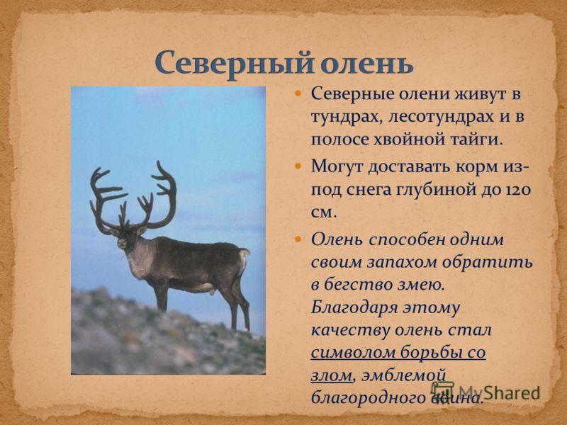 Северные олени живут в тундрах, лесотундрах и в полосе хвойной тайги. Могут доставать корм из- под снега глубиной до 120 см. Олень способен одним своим запахом обратить в бегство змею. Благодаря этому качеству олень стал символом борьбы со злом, эмбл