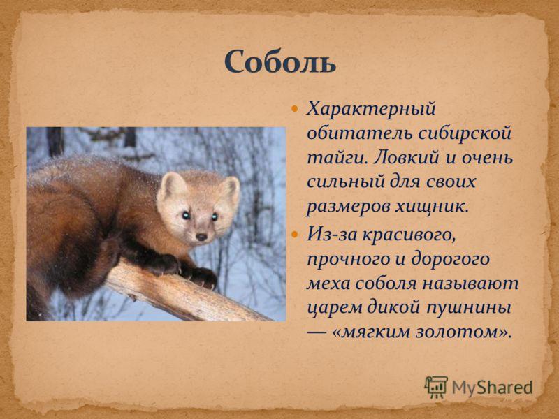 Характерный обитатель сибирской тайги. Ловкий и очень сильный для своих размеров хищник. Из-за красивого, прочного и дорогого меха соболя называют царем дикой пушнины «мягким золотом».