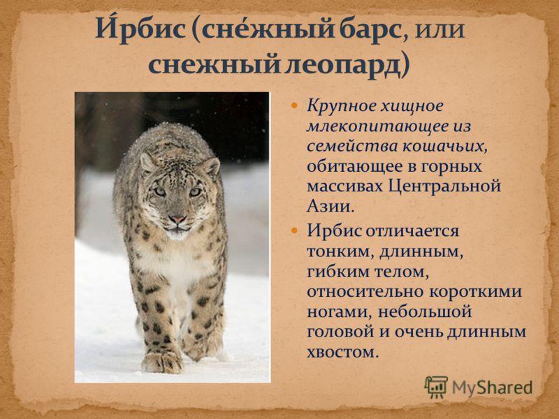 Крупное хищное млекопитающее из семейства кошачьих, обитающее в горных массивах Центральной Азии. Ирбис отличается тонким, длинным, гибким телом, относительно короткими ногами, небольшой головой и очень длинным хвостом.