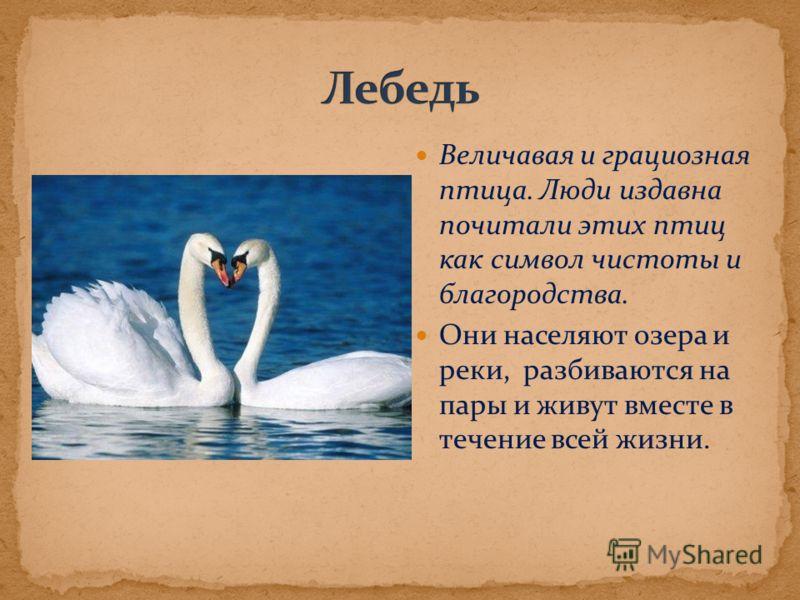 Величавая и грациозная птица. Люди издавна почитали этих птиц как символ чистоты и благородства. Они населяют озера и реки, разбиваются на пары и живут вместе в течение всей жизни.