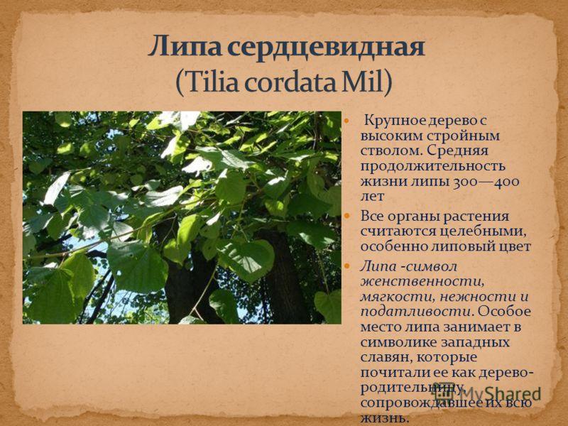 Крупное дерево с высоким стройным стволом. Средняя продолжительность жизни липы 300400 лет Все органы растения считаются целебными, особенно липовый цвет Липа -символ женственности, мягкости, нежности и податливости. Особое место липа занимает в симв