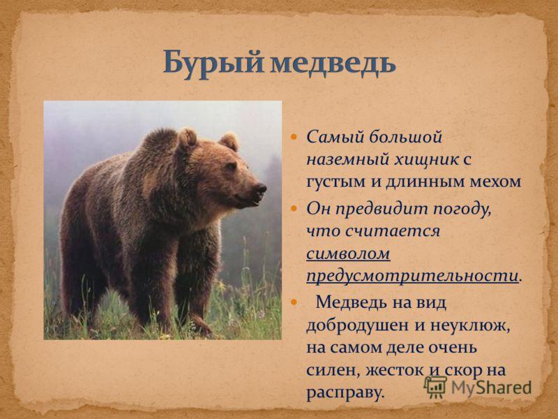 Самый большой наземный хищник с густым и длинным мехом Он предвидит погоду, что считается символом предусмотрительности. Медведь на вид добродушен и неуклюж, на самом деле очень силен, жесток и скор на расправу.